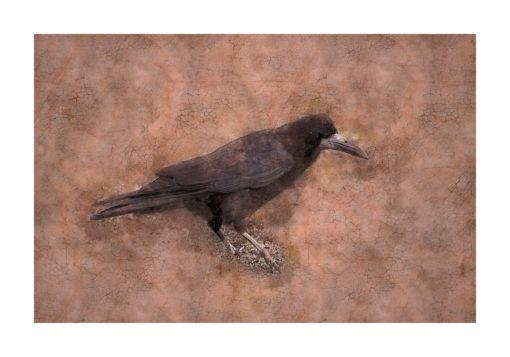 Råka (Corvus frugilegus) poster