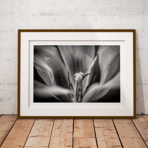 svartvit tulpan poster