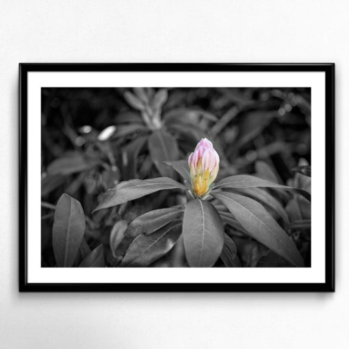 Rhododendron knopp poster