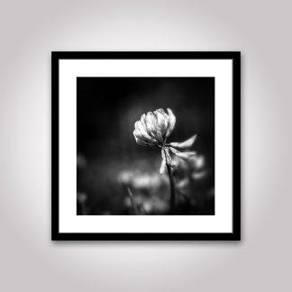 klöver poster blomma