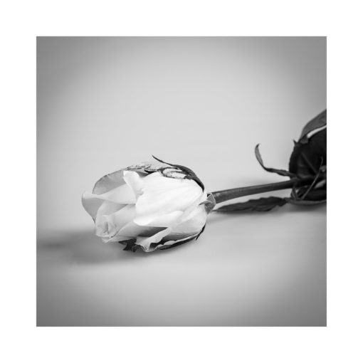 rosen svartvit poster