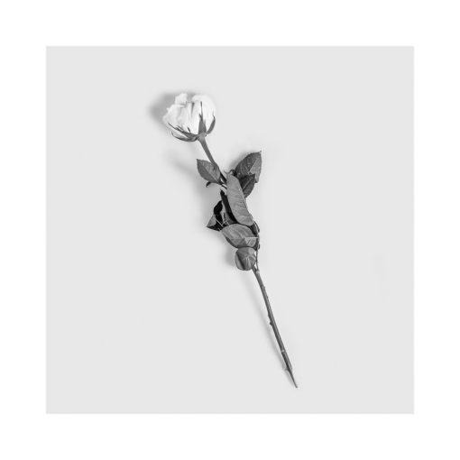 rosen svart vit poster